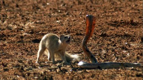 Una mangosta atacando a una cobra.